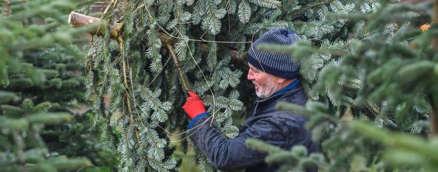 So kommen Sie an Weihnachtsbäume in Bio-Qualität