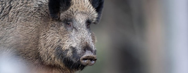 Schweinepest vor Berlin – Marzahn bereitet sich vor