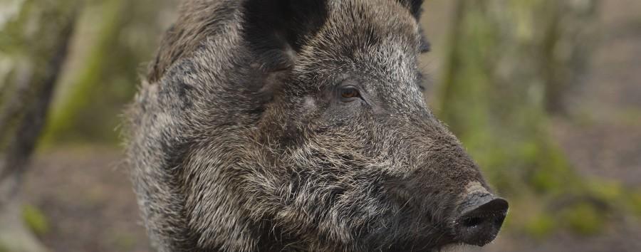 Berlin kauft Elektrozäune gegen Wildschweine