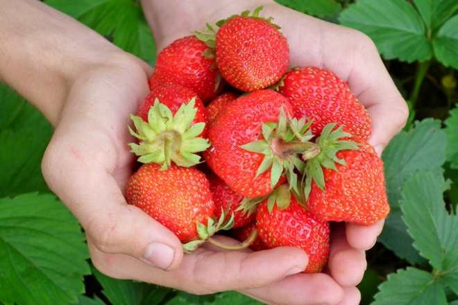 prevent moldy strawberries