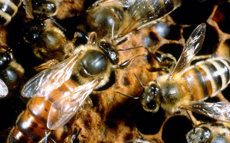 Instrumentally inseminated queen bees