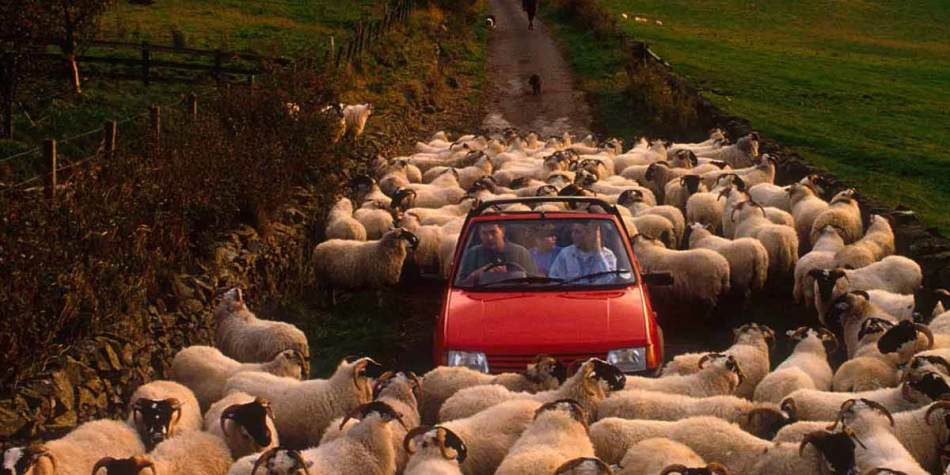 People in car surrounded by sheep