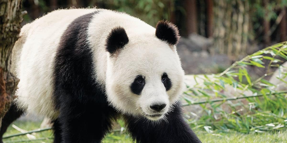 Panda i Zoo København - Photo Credit: Neel Andreasen