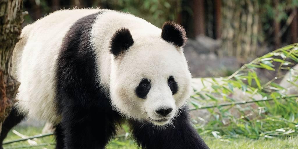 Panda in Zoo Copenhagen - Photo Credit: Neel Andreasen