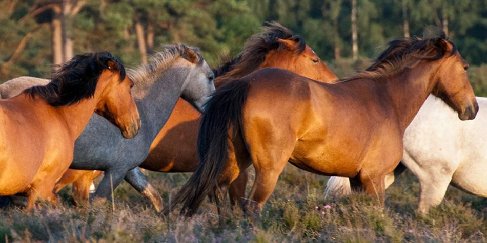 Horses in the New Forest national park