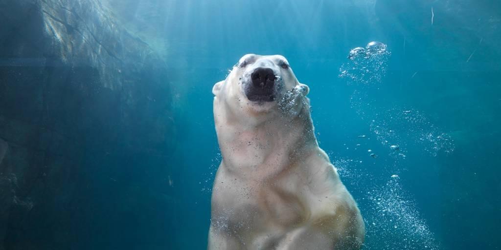 Ice Bear, Zoo Copenhagen - Photo Credit: Henrik Sorensen