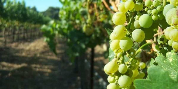Wine in Belgium - Vineyard