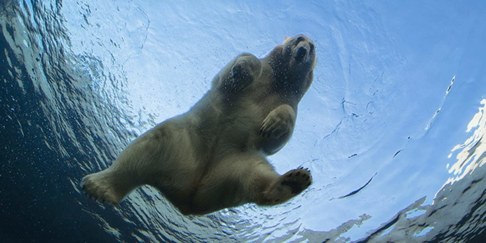 A polar bear swimming in the water at Copenhagen zoo.
