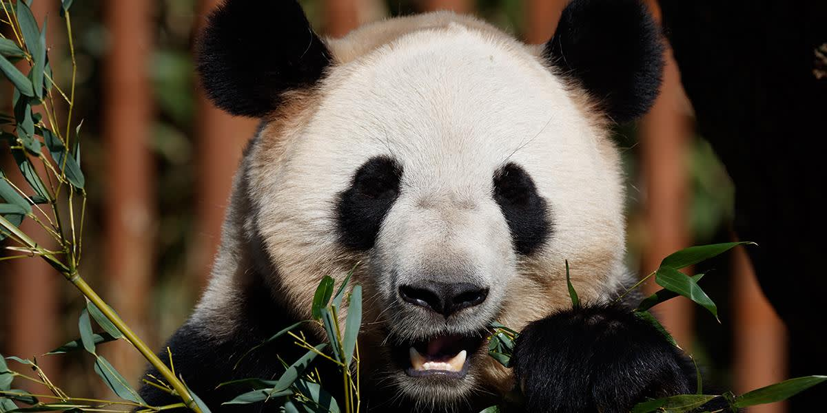 Copenhagen Zoo - panda photocredit Frank Ronsholt