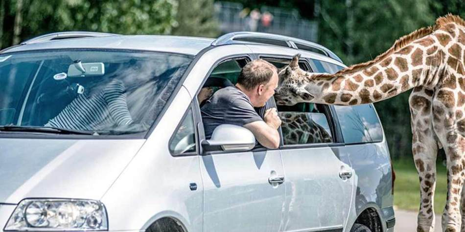 Feeding giraffe through a car window at Serengeti Safari Park
