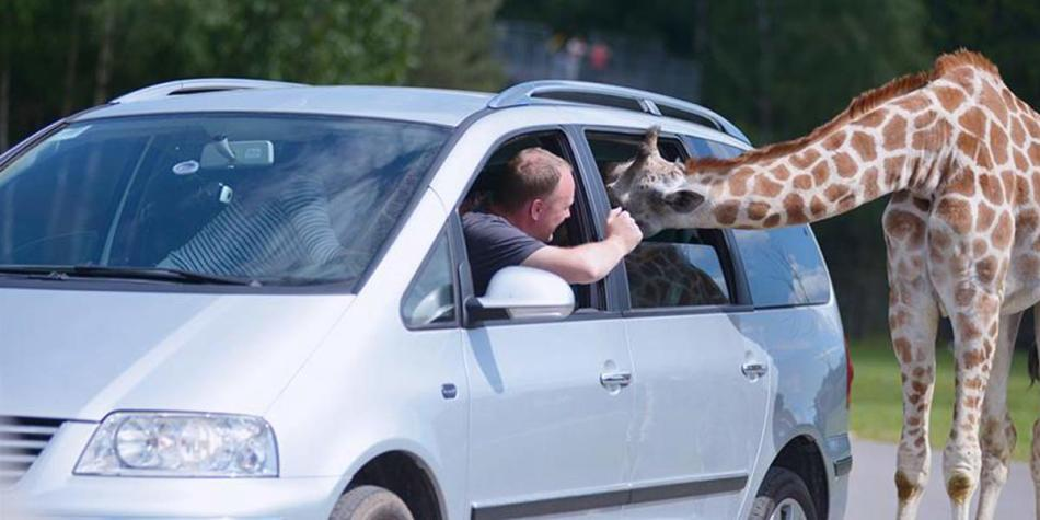 Man feeding a giraffe through the car window at Serengeti Safari Park, Germany