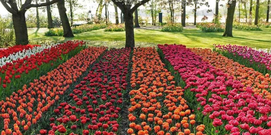 bulbfields in holland full of tulips