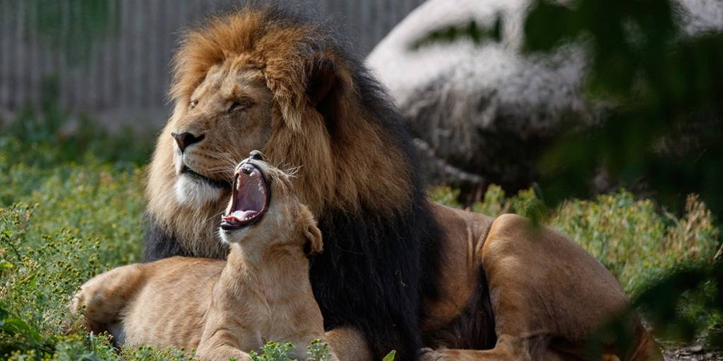 Lions in Zoo- Photo credit: Frank Ronsholt
