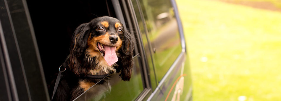 happy dog travelling in a car
