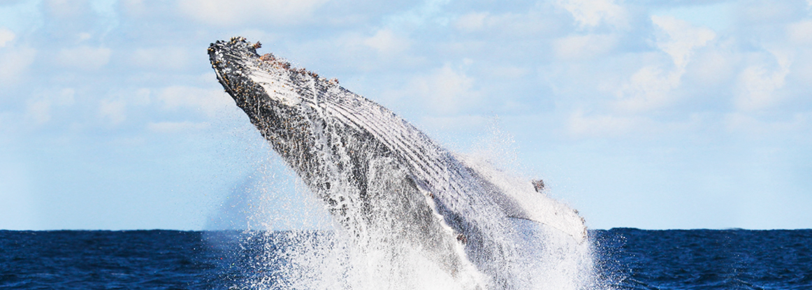 Humpback whale breaching. Credit: Jonas Liebschner