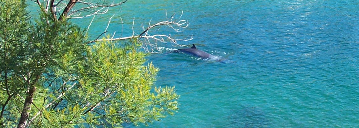 Minke whale in Sydney Harbour National Park. Photo: G.Ross/OEH