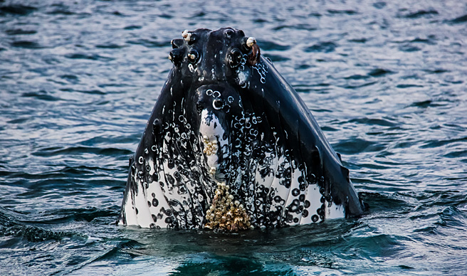Humpback with barnacles