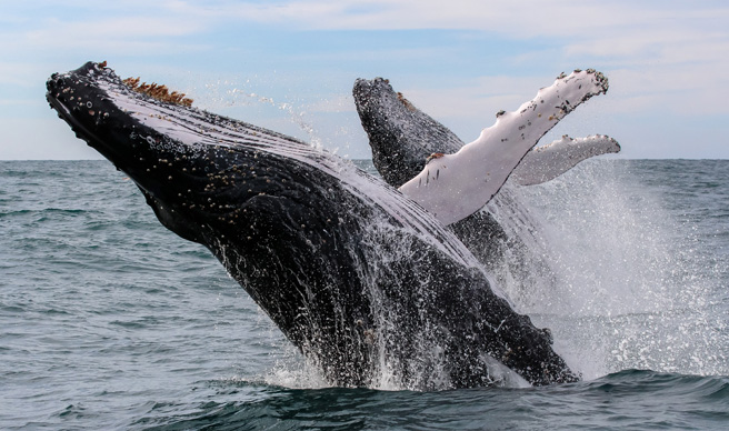 Russia criticised for dumping trapped whales at sea