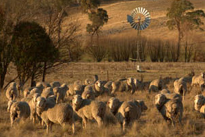 Why We Love Australian Merino Wool & Why You Will Too
