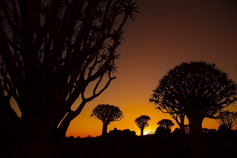 Köcherbäume im Sonnenuntergang.