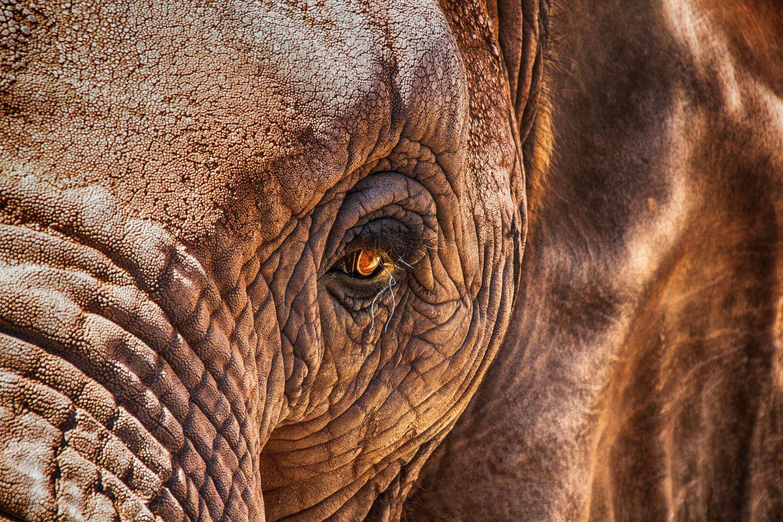Elefantenauge in Nahaufnahme.