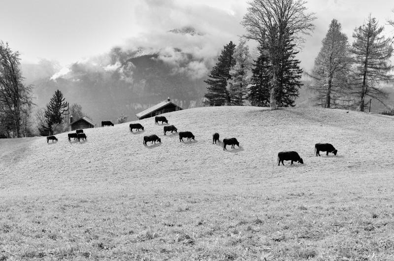 Black & White photo showing cows in pasture on rolling Swiss Alps.