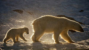 02 polarbear wildlife svalbard Dominic-Barrington Landscape 1920x1080