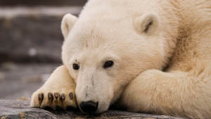 Polar bear relaxing at the beach