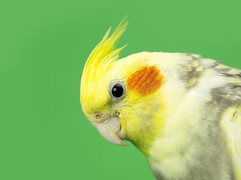 Cu l es el mejor ave para tener en casa y para ni os - Cual es el mejor ambientador para casa ...