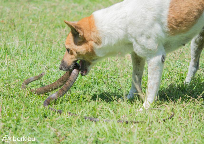 qué hacer si mi perro sufre una mordedura de víbora barkibu es