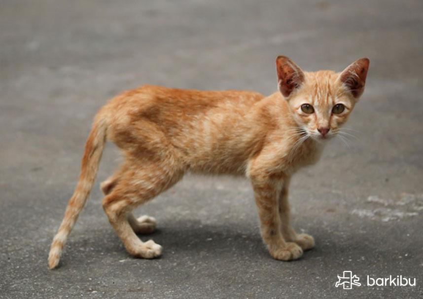 Perdida de peso en un gato