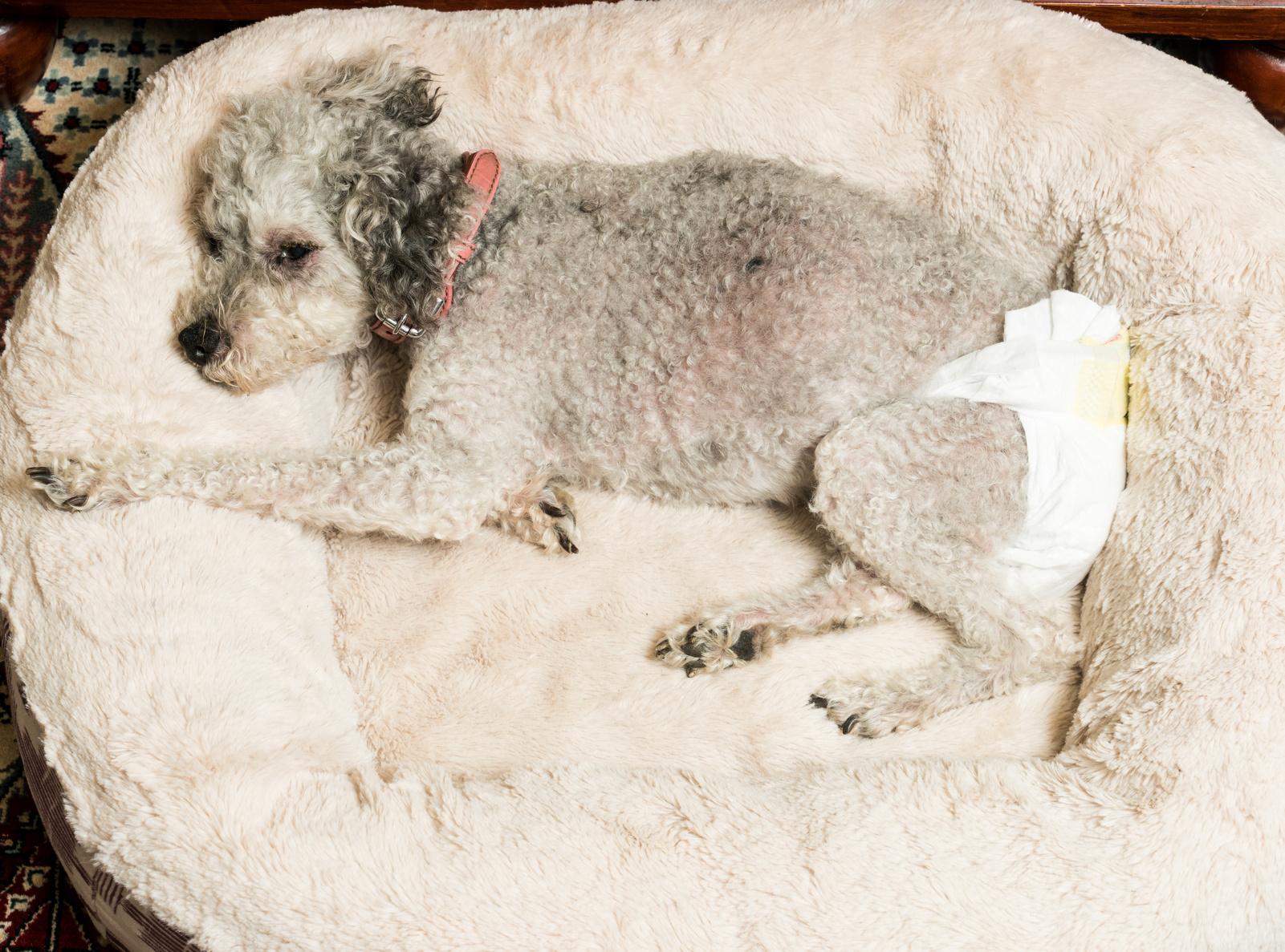 agrandamiento de la prostata en perros