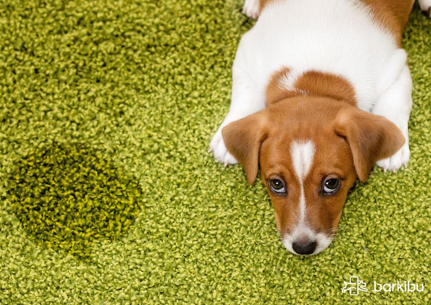 ¿Cuánto tiempo después de la esterilización, la prostatitis debería resolver al perro?