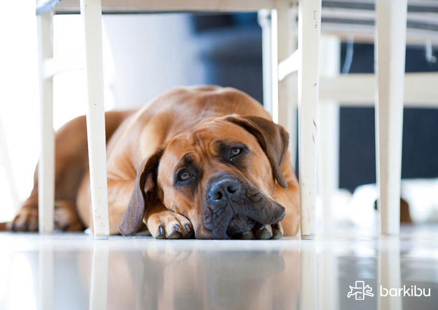Cómo Desinflamar Y Limpiar El Estómago De Un Perro Barkibu Es