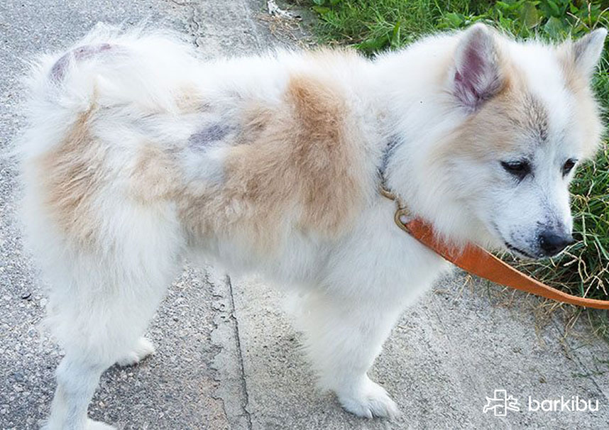 Remedios caseros para perros que se pelan, ¿qué tratamiento usar ...