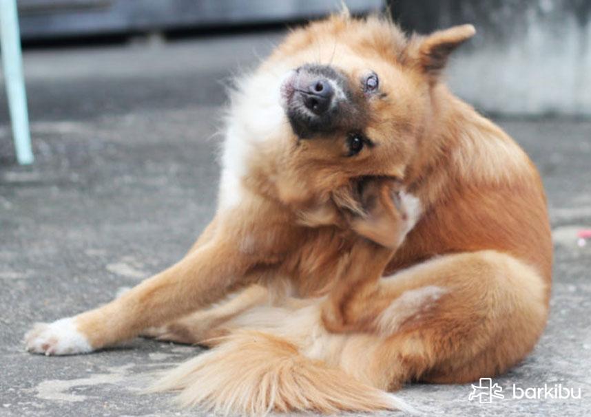 C mo quitar las pulgas a un perro r pido en casa barkibu es - Acabar con las pulgas en casa ...