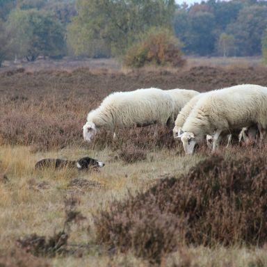 veluwe ermelo sheep