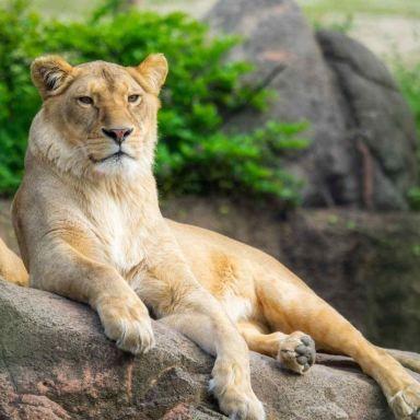 zoo_lion