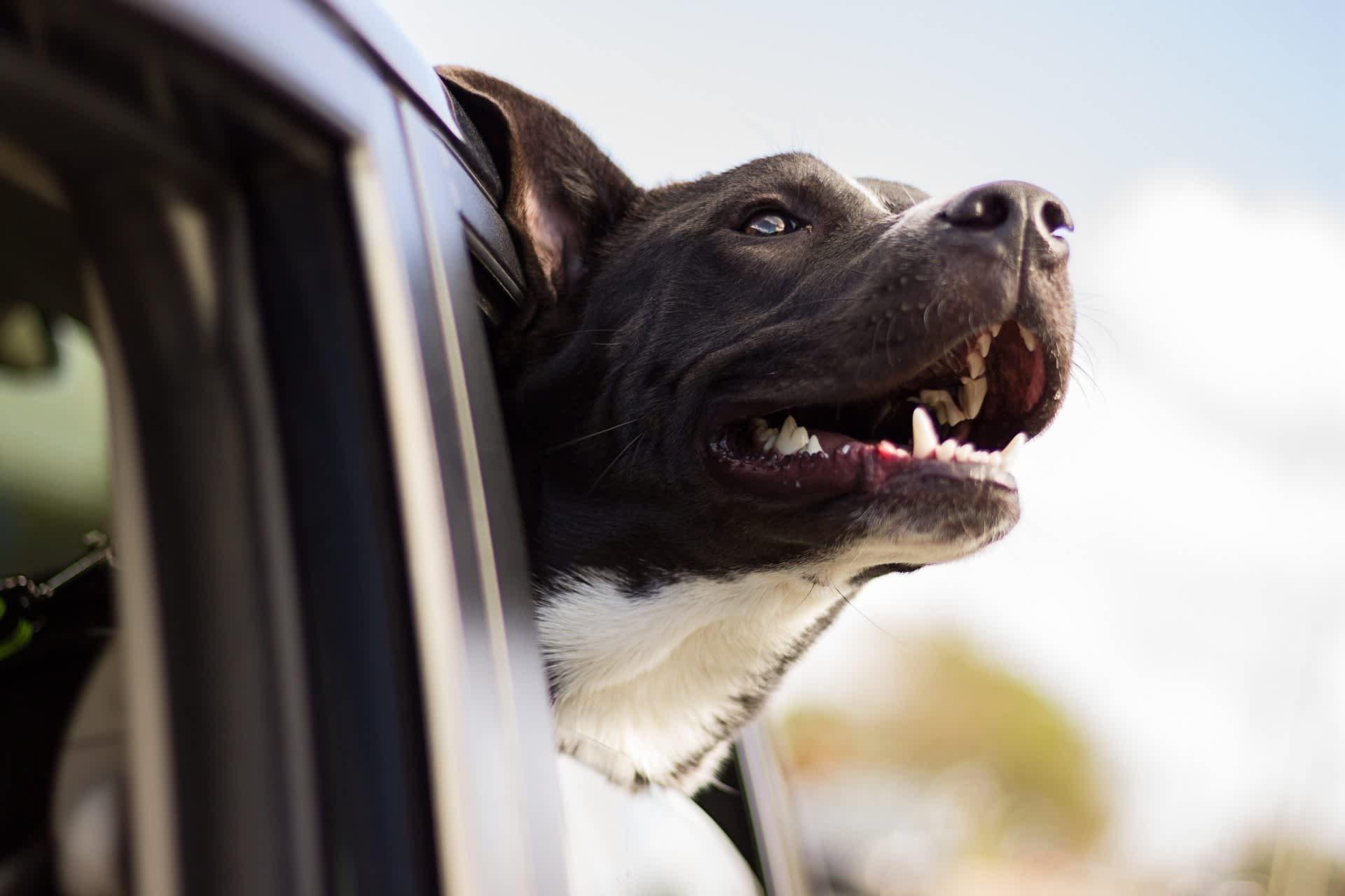 dog car holiday