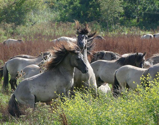 horses-konikspaarden-oostvaardersplassen