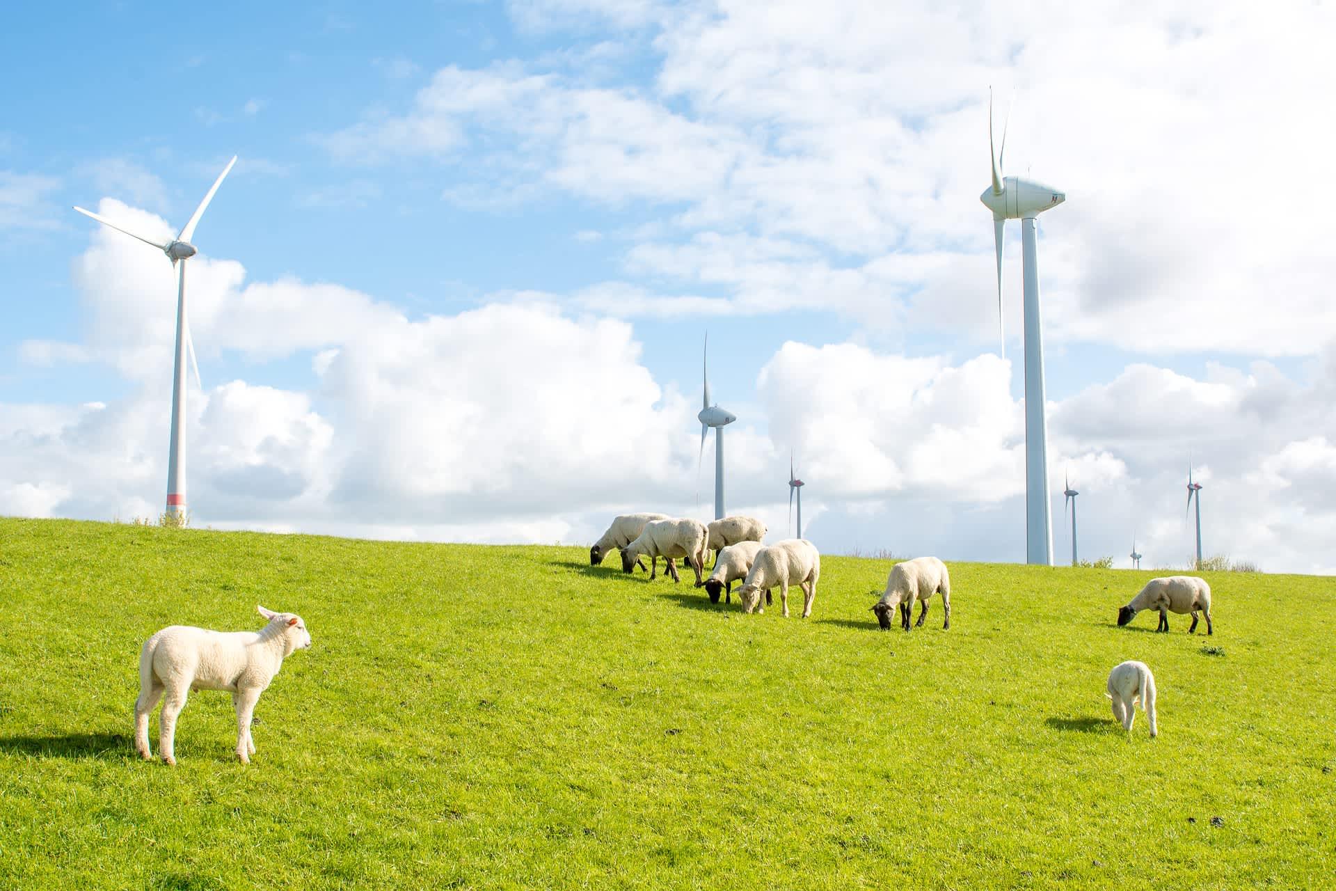 windmills dike sheep