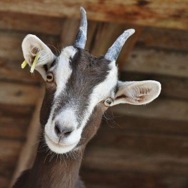 Goat pixabay