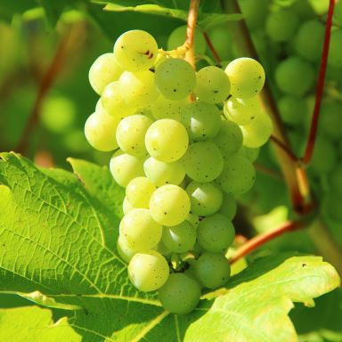 grapes vineyard