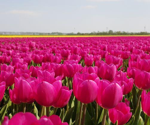 tulips flevoland