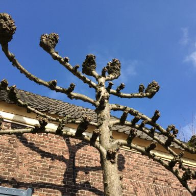 bronkhorst tree