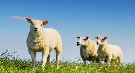 sheep texel
