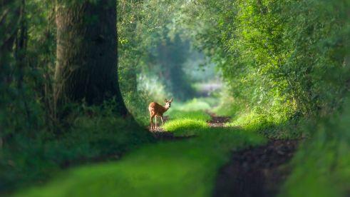 deer-forrest