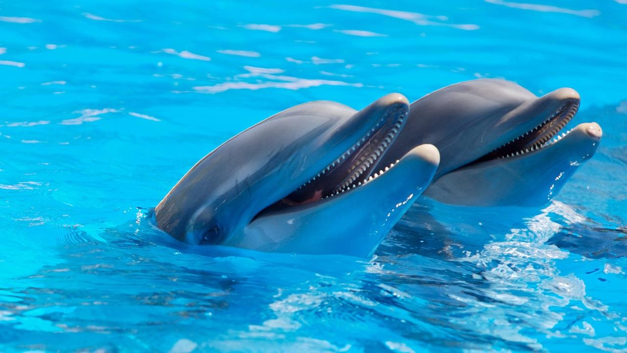 Dwa delfiny butlonosy w basenie.