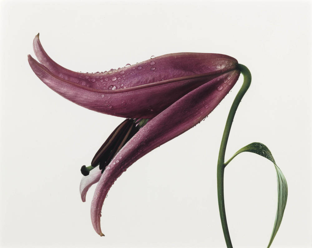 Irving penn  lily  imperial pink  new york   1971