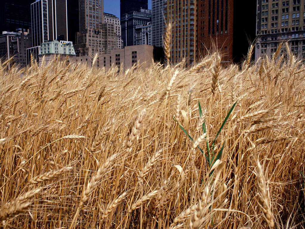 Agnes denes     wheatfield     a confrontation  battery park landfill  downtown manhattan     golden wheat  2      1982